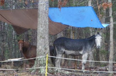 Miniature horse and donkey under one tarp