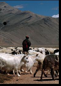 shepherd in desert with sheep