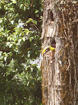 Toucan in a tree, Los Lagos, Arenal