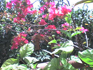 bougainvilla bougainvillas bouganvilla india flowers
