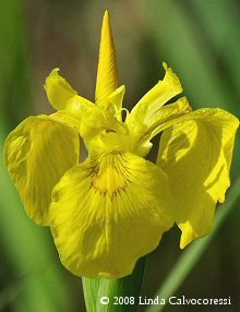 Yellow Swamp Iris