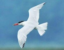 Caspian Tern
