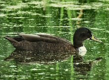 Hybrid Mallard