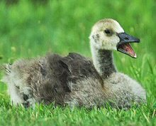 Canada Gosling