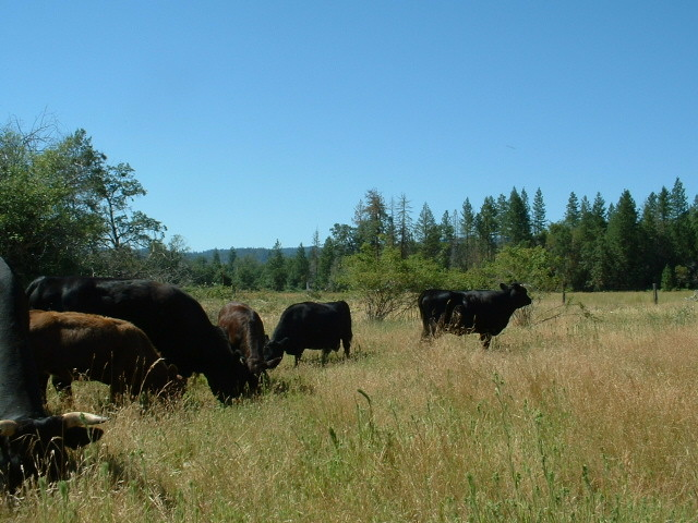 Dexter cows and calves