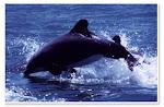 delfin chileno