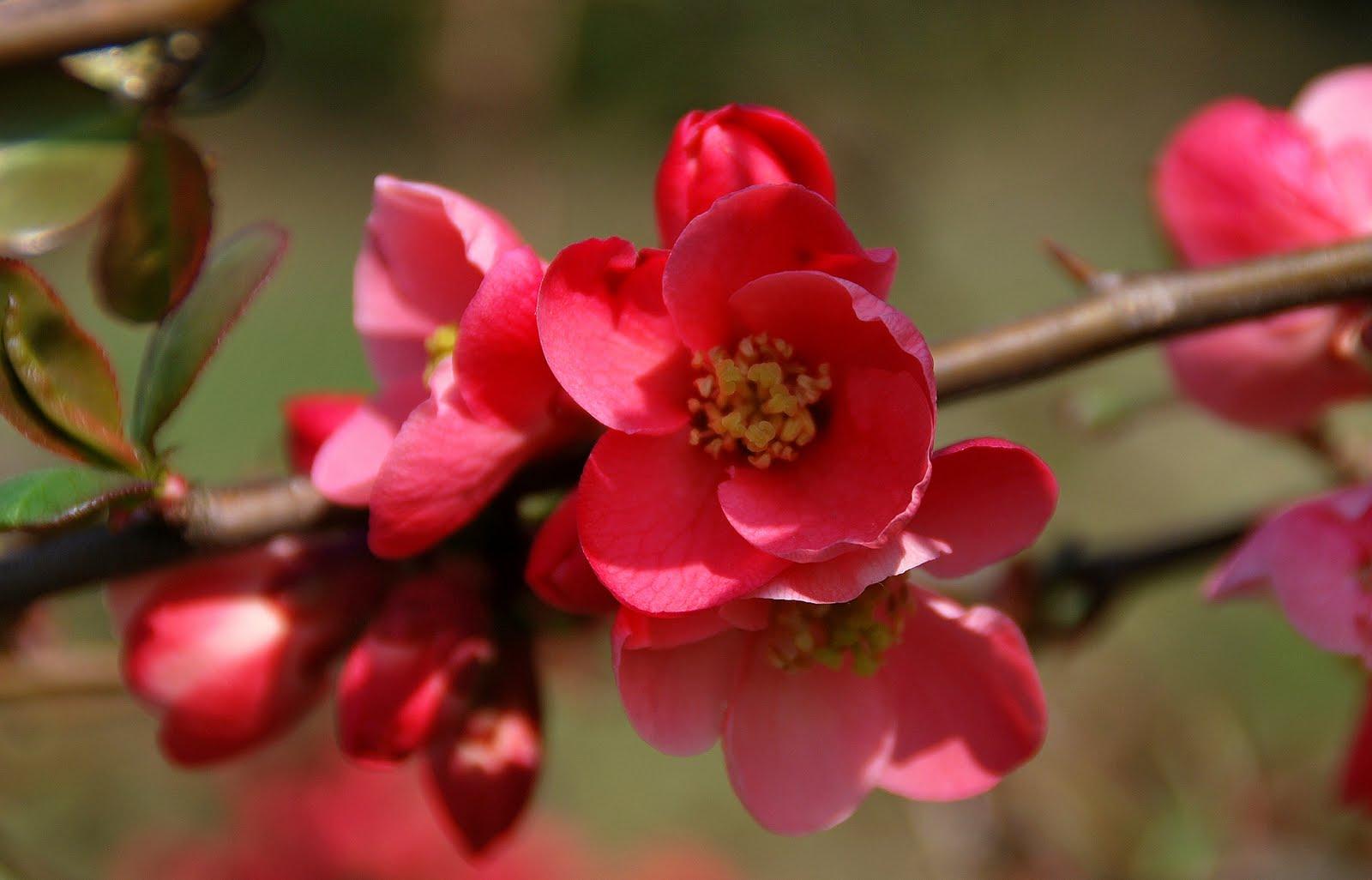 Jardin vivace arbustes floraison printani re - Arbuste floraison printaniere jaune ...