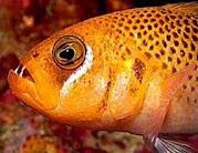 Ikan Bertaring dari Halmahera