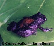 Katak Spesies Baru dari Pegunungan Cycloops, Jayapura - Papua