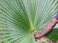 Tanaman Palem jenis baru dari hutan Mamberamo