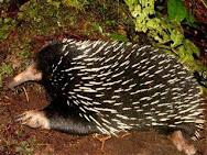 Landak Papua