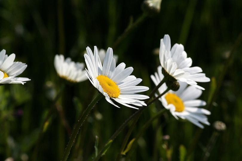 Marguerites.