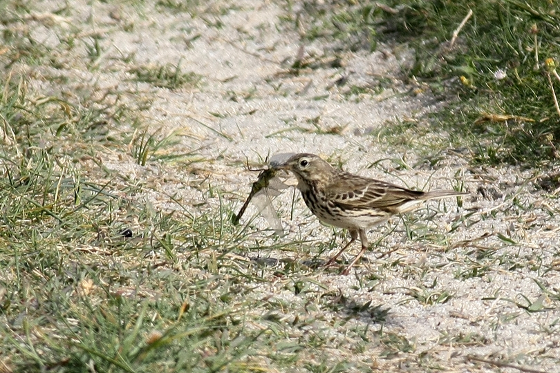 Pipit.