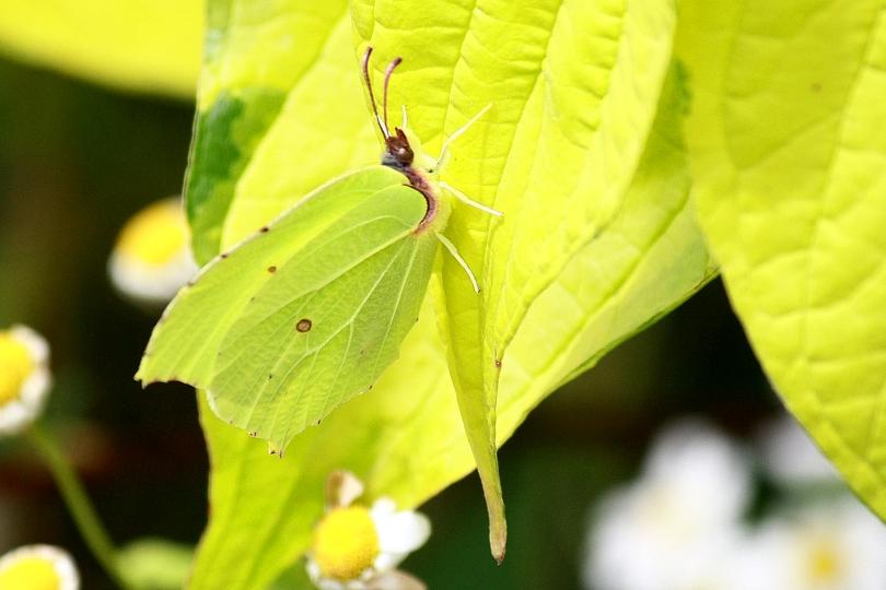 Papillon : citron.