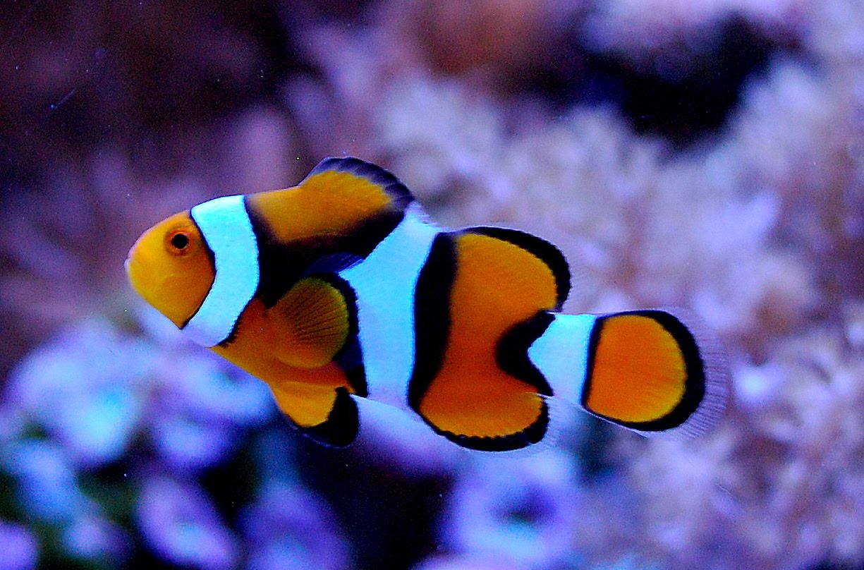 Douce art 2 clown fish desktop wallpapers for Clown fish for sale