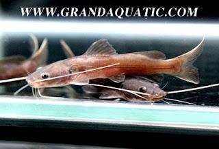 Aquariumfishexport catfish aquarium tropical fish for Freshwater fish representative species