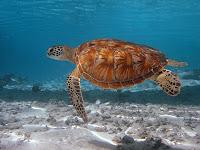 tortugas viajeras de los oceanos