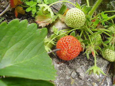 First Strawberries Of Spring - St Ives Cornwall