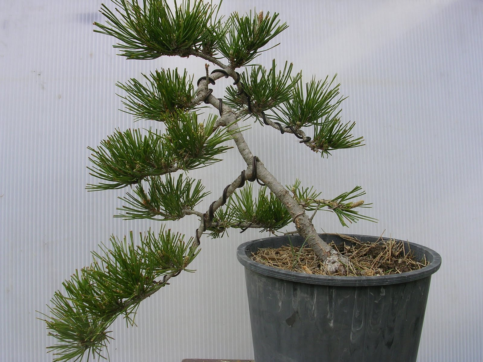 Instant Bonsai Wiring Your Tree Japanese Black Pine Have A Small Window Of Opportunity When It Comes To Repotting That Involves Root Pruning This Is In September First Month