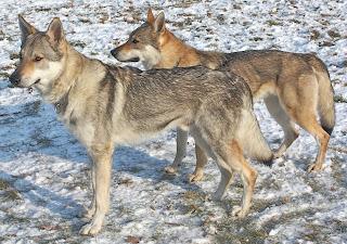 Dojan von der Wolfsranch und Bluebell von der Wolfsranch