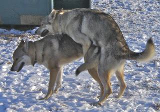 Deckakt von Bluebell und Dojan von der Wolfsranch