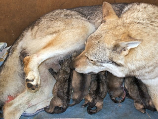 Die gerade geborenen Welpen und die Mama Bluebell
