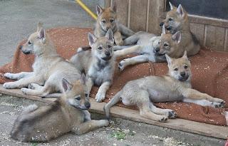 G-Wurf von der Wolfsranch - 7 Wochen alt