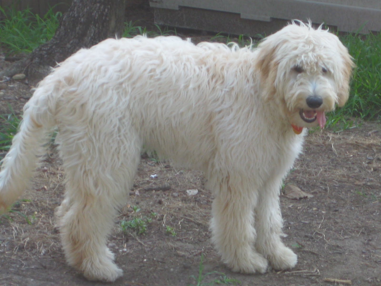 Goldendoodle Haircut Pictures | a walk through myth