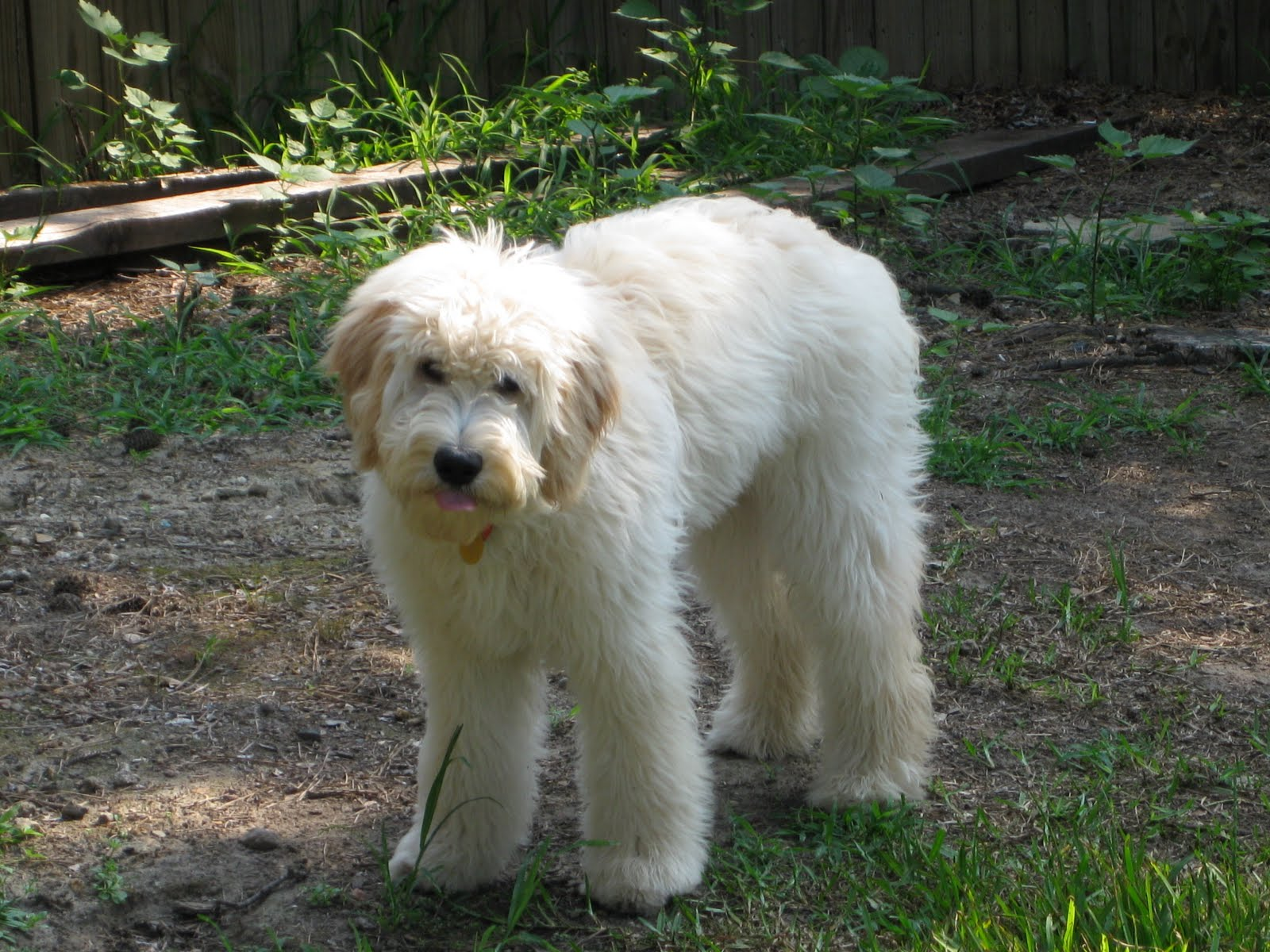 Goldendoodle Haircut Photos http://atthewalkerhouse.blogspot.com/2010/06/myth-busters-goldendoodle-edition.html