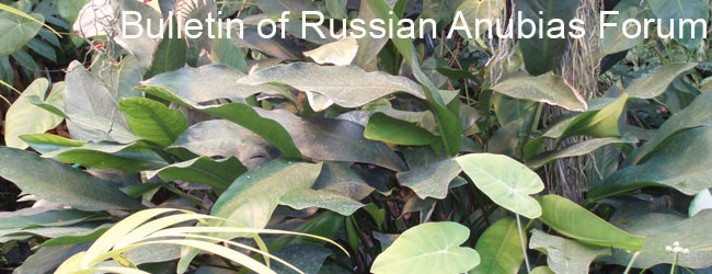 Bulletin of Russian Anubias Forum