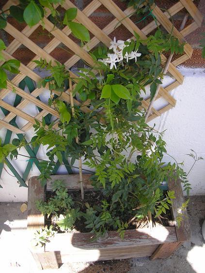 el jardin de pepa: enredaderas y trepadoras