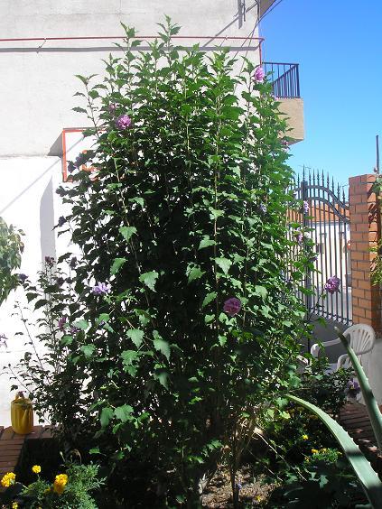 El jardin de pepa arbustos herbaceas anuales for Especies de arbustos