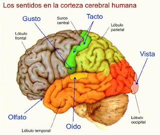 Corteza somatosensorial primaria y secundaria