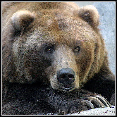 Brown Bear. San Diego Zoo.