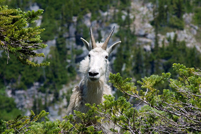 Horned white head and shoulders of Mountain Goat seen through branches of evergreen tree in front, against blurred mountain way in background.
