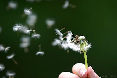 http://4.bp.blogspot.com/_c5qjMGfpykU/TDLod6wwtwI/AAAAAAAAABc/xMwiaFb4QeE/s400/dandelion_seeds_being_blown.jpg
