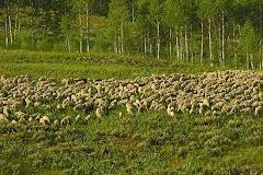 sheep-saltivers