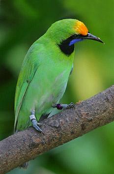 Leafbird Malaysia - Daun