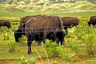 Buffalo not roaming