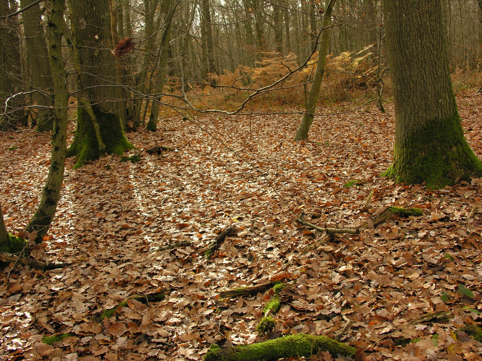 nature et paysages de le tapis de feuilles mortes et les vieux ch 234 nes