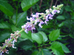 Cuban Oregano (Broadleaf Thyme) Flowers