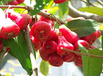Red Java Apple