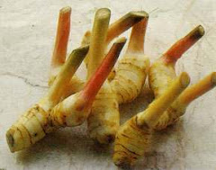 Galangal Ginger Root