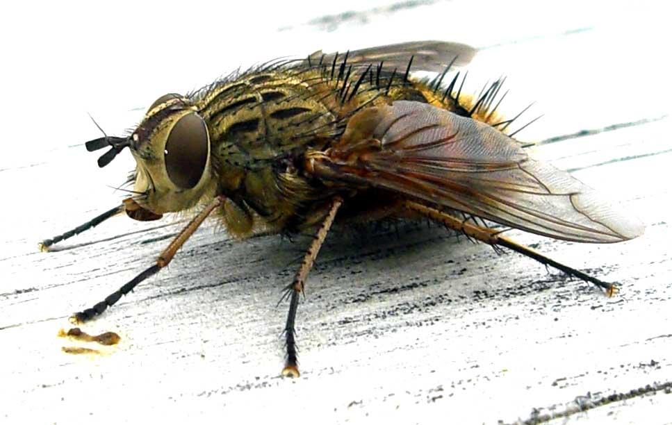 fruit flies must die