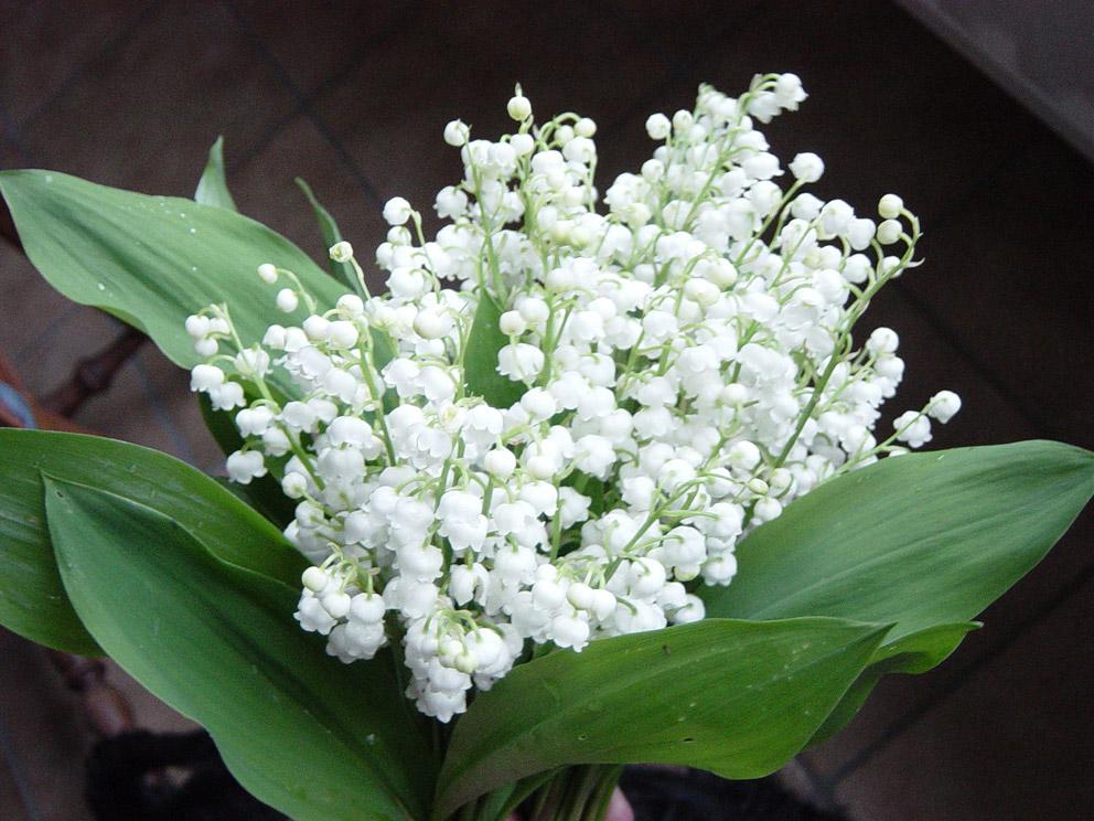Quotidiennement votre le bouquet de muguet de l 39 amiti - Photos de bouquet de muguet ...