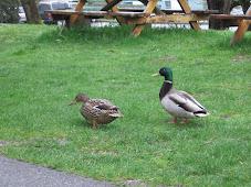Mallard duck mascots