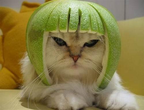 Gato con casco