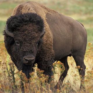 Q Es Un Bisonte los bisontes europeos