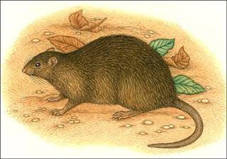 rata bulldog Rattus nativitatis extinto