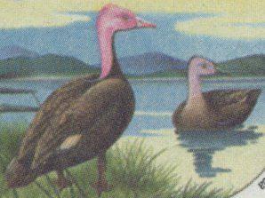 Pato de cabeza rosada Rhodonessa caryophyllacea